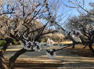 【まちなか観光】千葉 花島公園の梅